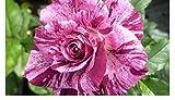 Purple Tiger - Floribunda rose - radice nuda rose - ideale per regalo - ora disponibile