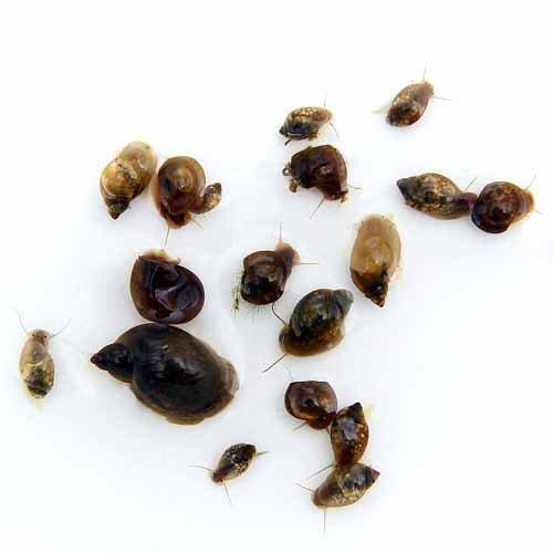 (エビ・貝)生餌 エサ用巻貝 Sサイズ 約0.3~1.5cm(20匹) [生体]