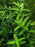 Kleine Rotala / Rotala rotundifolia - Wasserpflanzen