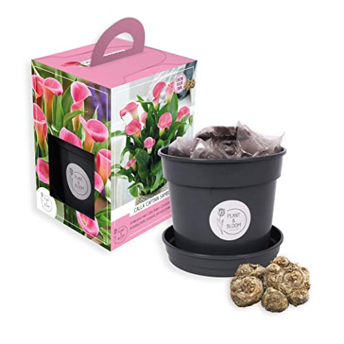Plant & Bloom Calla 'Captain Samba' Grow Kit - 1 Calla Tuber - Züchte deine eigenen - Rosa Blumen - Für den Innenbereich - Niederländische Qualität