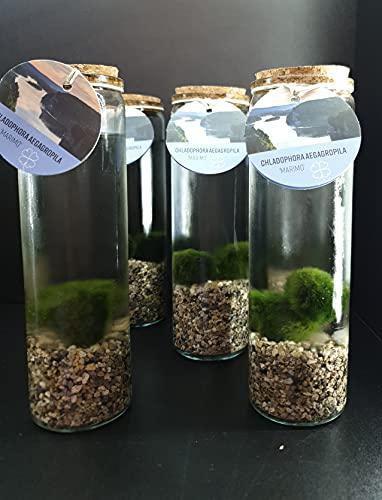 Coppia di Alga Marimo Chladophora Aegagropila in vaso di vetro con ghiaia