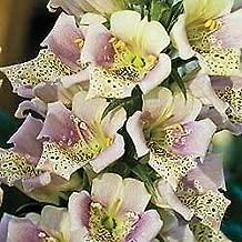 Digitalis Purpurea Candy Mountain Peach Perennial Flowers Seeds 1,000 Pcs an