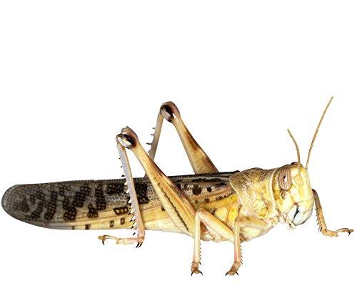 Heuschrecken 9 Stück Adulte/große Wüstenheuschrecken Futterinsekten Reptilienfutter