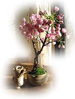 桜盆栽   これで自宅で 桜を楽しめる さくら盆栽  4月中頃に開花します。