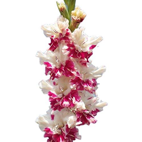 Ncient 50/100 pcs/Sac Graines de Glaïeul Épée Lily Vivaces Belle Floraison Bonsaï en Plein Air Semences de Fleurs Jardin pour l'Intérieur et l'Extérieur (50Pcs, Rouge)
