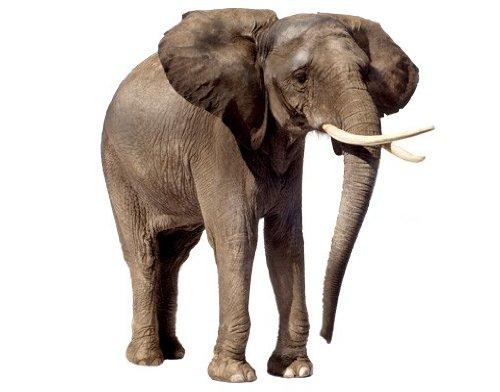 Fenstersticker No.285 Wandernder Elefant elefant afrika tiere benjamin safari Fenstersticker Fensterfolie Fenstertattoo Fensterbild Fenster-Deko Fensteraufkleber Fensterdekoration Glas-Sticker Größe: 56cm x 50cm