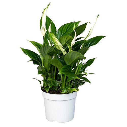 Florado Einblatt, echte Zimmerpflanze, Pflanze, Luftreinigend, Topfgröße 13 cm