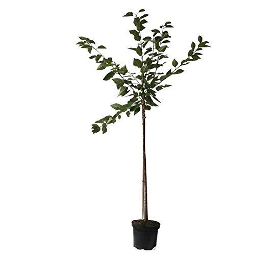 Oktavia aromatische dunkelrote platzfeste Süßkirsche Kirschbaum als Buschbaum ca