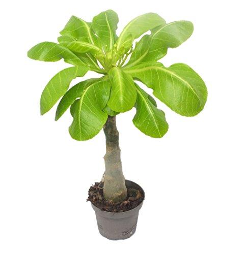 1 Hawaii Palme ungefähr 40 cm brighamia insignis Zimmerpflanze