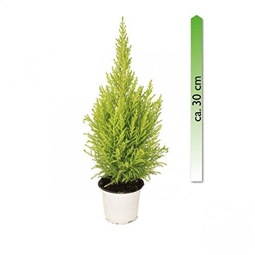 mgc24 Cupressus macrocarpa Goldcrest Wilma, Zimmerpflanze im 13 cm Topf, Zimmerzypresse, ca. 30 cm hoch
