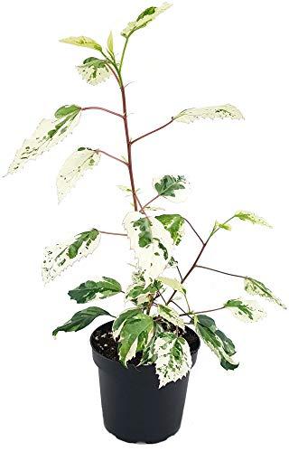 Fangblatt - seltener Hibiscus rosa-sinensis variegata - panaschierter Hibiskus mit grün weißen Blättern - im Ø 12 cm Topf, ca. 35 cm ↑ - Eibisch