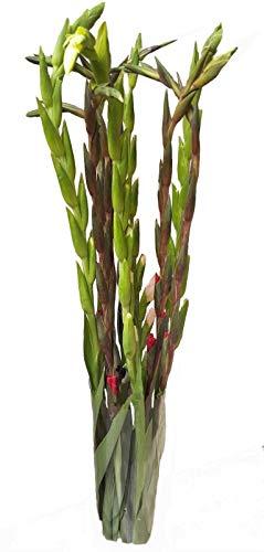 Flora Trans Blumenstrauss verschicken, echte Gladiolen zum Geburtstag verschenken -Blütenpracht- 10 Stück