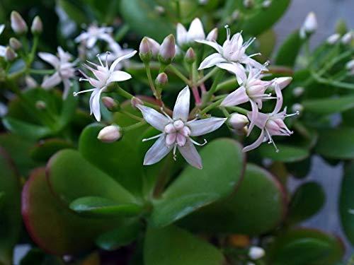 Alick 20 piezas de semillas de plantas Crassula Ovata