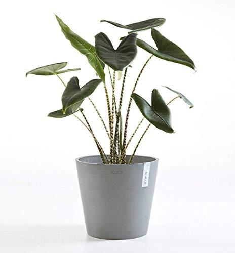 Plante intérieur | Plante verte | hauteur 60 cm | Pot 17 cm | Alocasia Zebrina stingray livré dans un pot ECOPOTS bleu