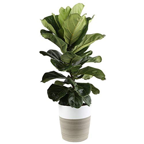 Costa Farms Live Indoor Ficus Lyrata, Fiddle Leaf Fig Tree - Floor Plant - Fresh from Our Farm, 34-Inches Tall, in White-Natural Décor Planter