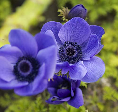 Blumenzwiebeln für Frühlings-, Sommer- und Herbstblüher (10, ANEMONE MR. FOKKER)
