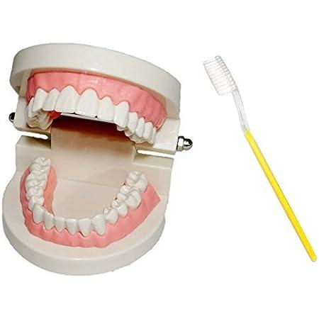 [シーエムワイ セレクト] 歯 模型 歯列模型 歯模型 実物大 モデル 180度 開閉式 歯ブラシ セット