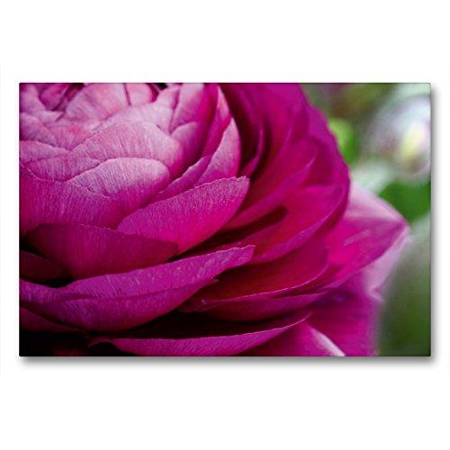 Premium Textil-Leinwand 90 x 60 cm Quer-Format Ranunkel im Frühling   Wandbild, HD-Bild auf Keilrahmen, Fertigbild auf hochwertigem Vlies, Leinwanddruck von Martina Cross