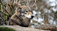 大人と子供のための300個のパズルおもちゃ面白いオオカミパズルに挑戦するパズルゲーム