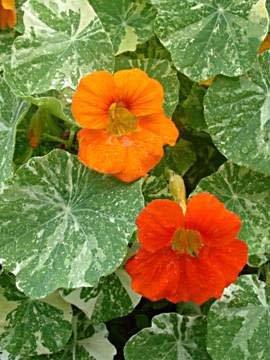 Alaska Mix Nasturtium - Pkt. 50 Seeds