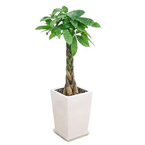 フラワーコーポレーション 編み込みパキラ 観葉植物 グリーン スクエア陶器鉢植え 8号サイズ