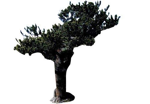 Grannen-Kiefer (Pinus aristata) 10 Samen (Winterhart) >Einer der ältersten Bäume der Welt<