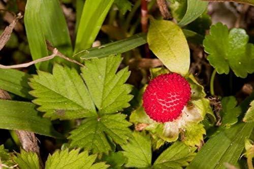 50 Indian Tuttifrutti Ranking Max 58% OFF TOP12 Strawberry Flọwers Berr Indica Duchesnea