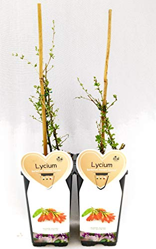 LYCIUM BARBATUM Beete von Goji 2 Pflanzen, echte Pflanzen