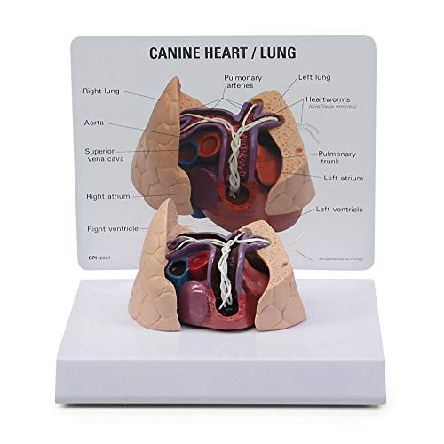 Canine Heart & Lung Model   Animal Body Anatomy Replica of Dog Heart & Lungs w/Heartworms for Veterinary Office Educational Tool   GPI Anatomicals