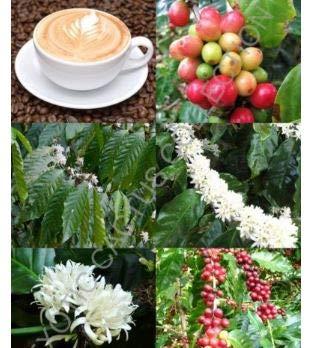 Frais Coffea arabica, grain de café Arbre tropical Rare Arbuste Café exotique graines 10 graines