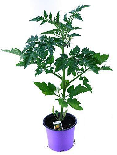 Gelbe Stabtomate, frische Tomaten Pflanzen,Tomatenpflanzen,F1 Sorte