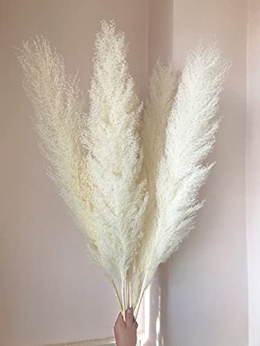 DORATA 55-60cm Natural Max 42% OFF Reed Max 90% OFF Dried Big White Brow Flower Pampas