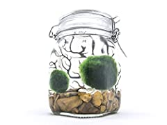 Includes 2 Marimo Moss Balls (1 to 1.5 inch each) while other kits only contain one. Includes a 38 ounce heavy glass authentic Italian swing top bale jar with vintage-style locking mechanism for the glass lid. Great and durable decorations for your h...