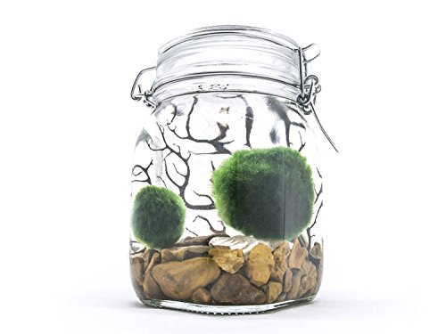 Terrarium Kit With Live Marimo Moss Balls - Large Glass Bottle Starter...