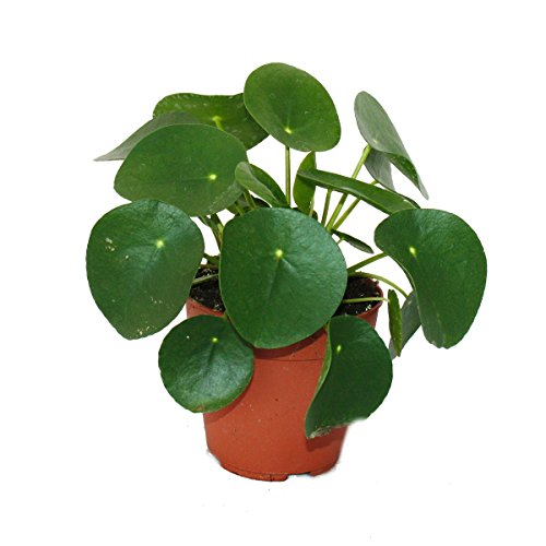 Pilea Peperomioides - Lefse Plant - Chinesise Money Tree - Belly Button Plant in a 11cm pot