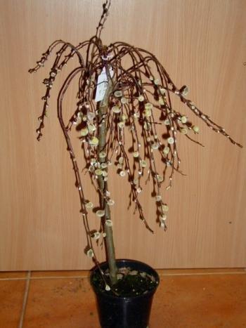 Kätzchenweide Salix caprea Pendula 80 cm Stammhöhe im 5 Liter Pflanzcontainer