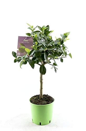 Limettenbaum - Lima Verde, Caipirinha Limette 60 cm