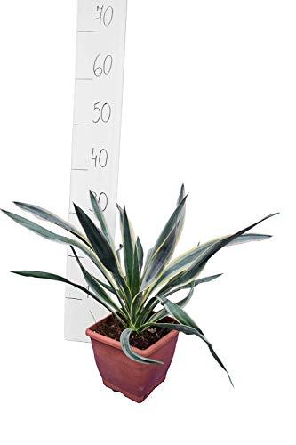 Yucca gloriosa Variegata – filia di palmiglia – Altezza totale 30 – 40 cm pentola 14 x 14 cm