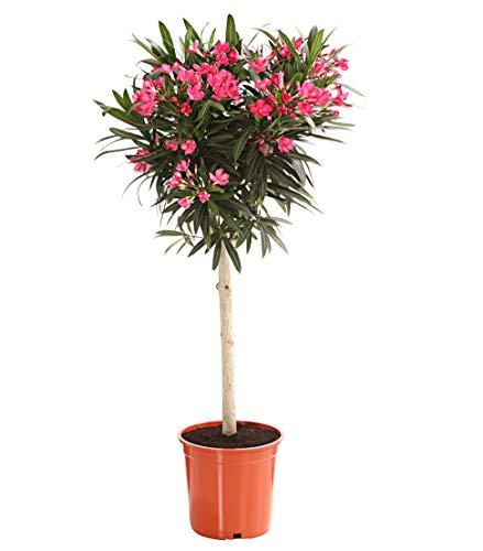 Dehner Oleander, Stämmchen, farblich sortiert, ca. 70-90 cm, Ø Topf 20 cm, Zierpflanze