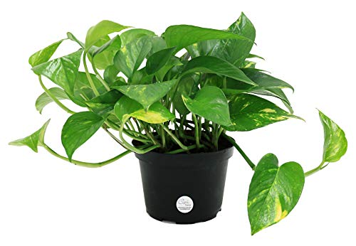 Costa Farms Easy Care Devil's Ivy Golden Pothos Live Indoor Plant,...