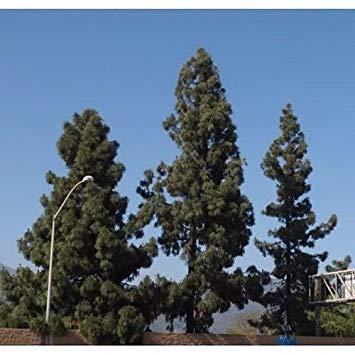 VISA STORE 50 kanarische Kiefer Samen Samen, Pinus canariensis