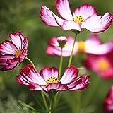 200 Piezas De Semillas De Cosmos únicas Plantadas En El Balcón Del Patio Flores Exóticas Que Exudan Ráfagas De Fragancia Que Hacen Que La Gente Se Sienta Bien