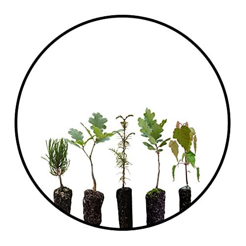 Bonsai Tree Bundle   Collection of 5 Live Tree Seedlings   The Jonsteen Company
