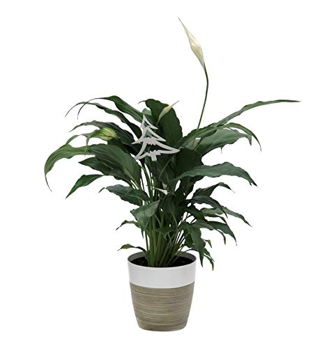 Costa Farms Peace Lily Spathiphyllum Indoor Plant, Décor Planter, 12-Inch, Holiday Gift