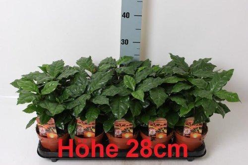 Coffea arabica 15-20 cm Kaffee Pflanze Kaffeestrauch Zimmerpflanze