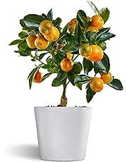 Calamondin - naranjo enano de interior - cítricos comestibles - maceta cerámica 12cm - planta viva
