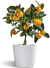 Calamondin - naranjo enano de interior - cítricos comestibles - maceta cerámica 12cm - planta viva (blanco)
