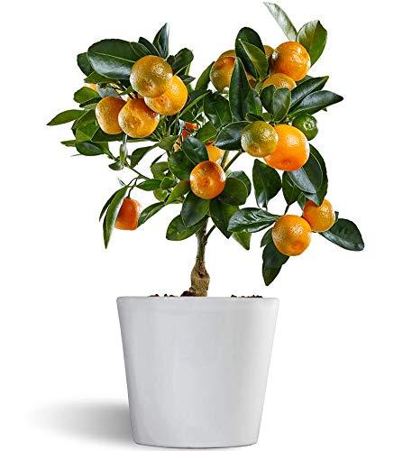Calamondin - naranjo enano de interior - cítricos comestibles - maceta cerámica 12 cm - planta viva (blanco)