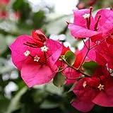 SAGEAWAY Semillas de Flores buganvillas