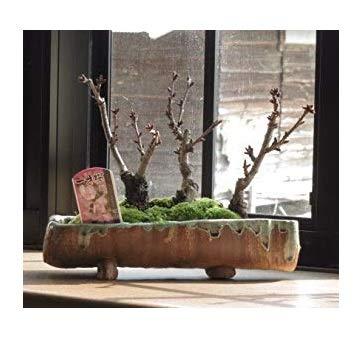 桜盆栽の寄せ植え桜 桜並木 ミニ桜で自宅で お花見気分を満喫 お祝いにはサクラ盆栽